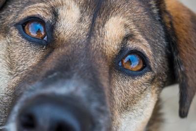 見つめる犬のアップ