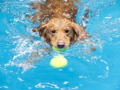 プールの中でボールをくわえて泳ぐ犬