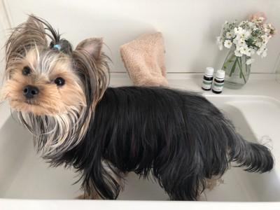 洗面台で足湯をする犬