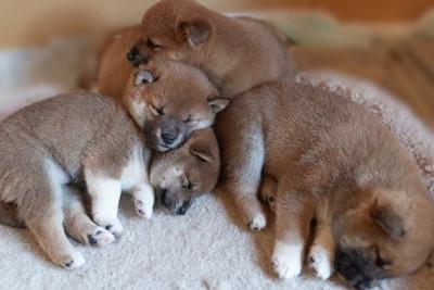 兄弟で一緒に眠る柴犬の子犬たち