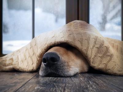 毛布をかぶって寒そうにしている犬