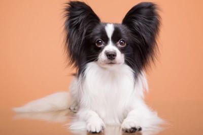 パピヨンの成犬