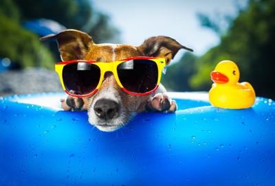 サングラスで浮き輪に乗る犬