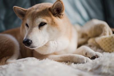 暗い表情の柴犬