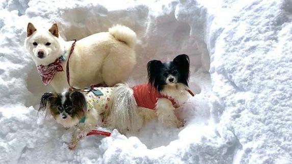 雪穴に犬達