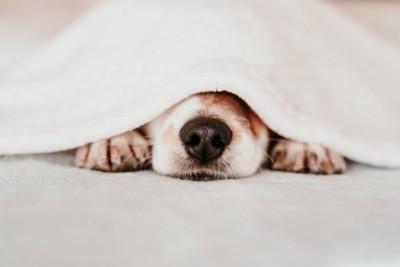 ブランケットの下で休む犬