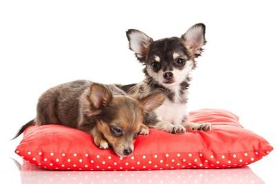 枕の上にいる二頭のチワワ