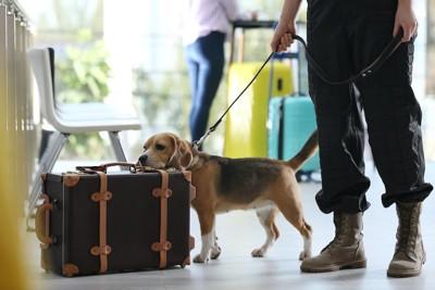 荷物のにおいをかぐビーグル犬
