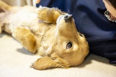仰向けで見つめる犬