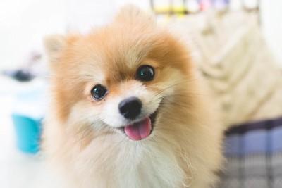 こちらを見つめる笑顔のポメラニアン