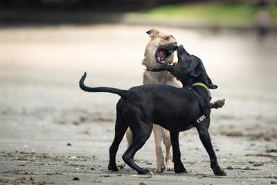 黒い犬と茶色い犬が砂浜で遊んでいる