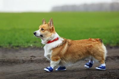 靴を履いて散歩するコーギー