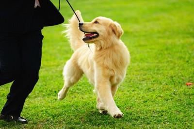 散歩をするスタイルのいい犬