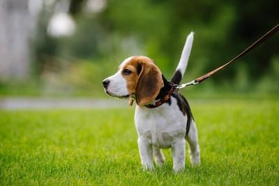 散歩するビーグルの子犬