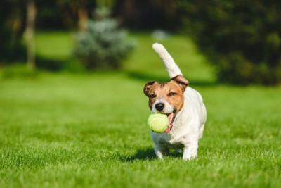 ボールをくわえて向かってくる犬