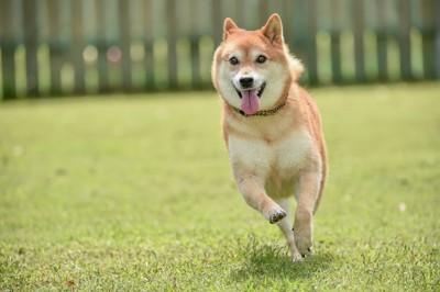 嬉しそうに芝生を走る柴犬
