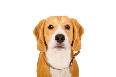 正面からこちらを見つめている犬