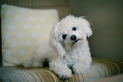 ソファーで首をかしげる白い犬