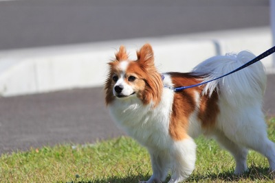 青いリードをした散歩中の犬