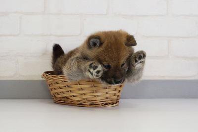 かごに入った柴犬
