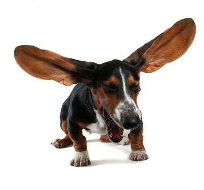 くしゃみで耳が広がる犬