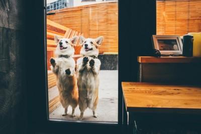 ドアの外から店内を見ている二頭のコーギー