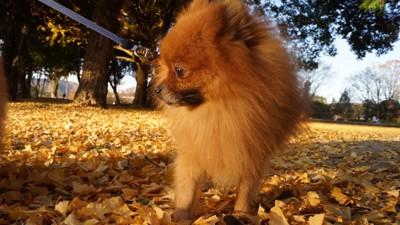 落ち葉の上を歩くポメラニアン