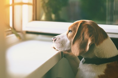窓の外を眺めるビーグル犬