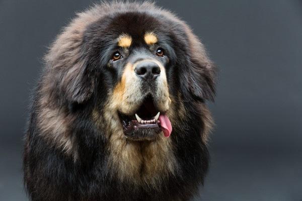 黒いTibetan Mastiff