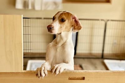 ケージの中で立ち上がり見つめる犬