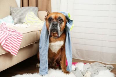 服を撒き散らす犬