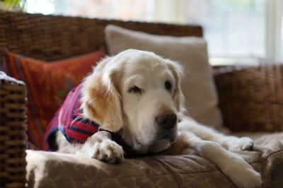 ソファに座る老犬