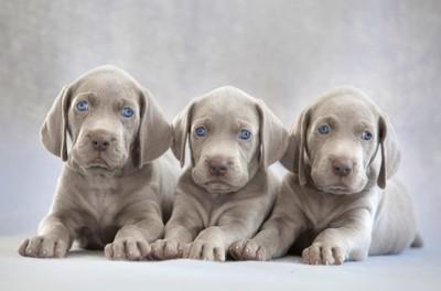 ワイマラナーの子犬三頭