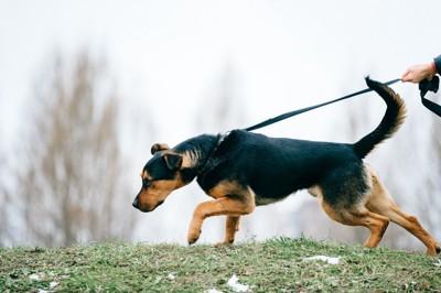 リードを引っ張っている犬