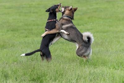 じゃれ合う2匹の四国犬