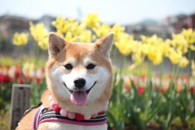 お花畑と犬