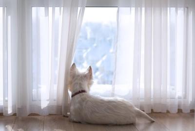 窓の外を眺める白い犬