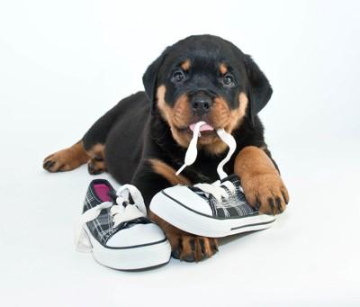 靴紐をくわえている子犬