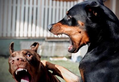 牙をむきケンカをする2匹の犬