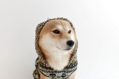 フードをかぶる柴犬