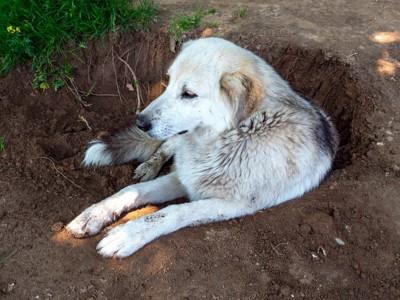 掘った穴に入って休む白い犬