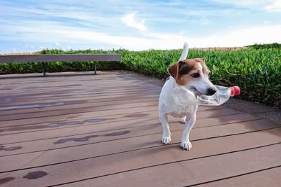 空のペットボトルをくわえて歩く犬
