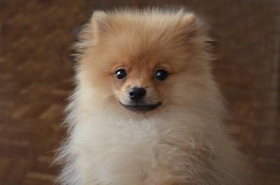 ポメラニアンの子犬の顔のアップ