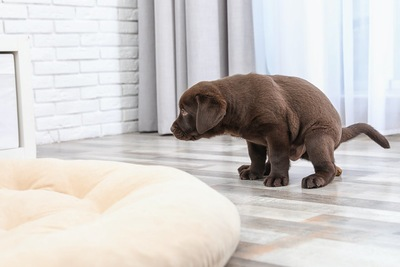 部屋でうんちをする格好をしている子犬
