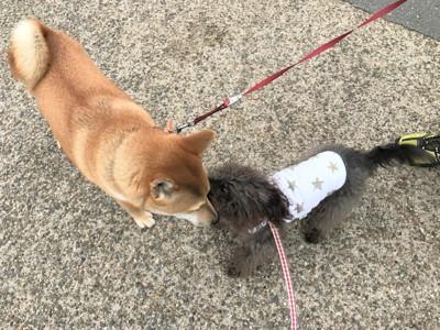 挨拶しあうエマさんと柴犬