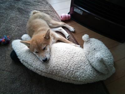 ぬいぐるみを枕にして寝る柴犬