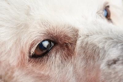 アレルギーで目が赤い犬の顔アップ