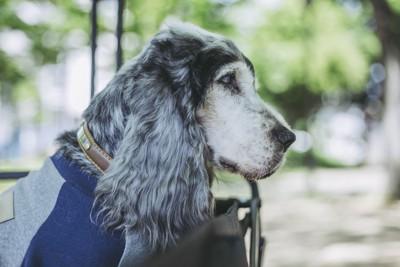 老犬コッカー