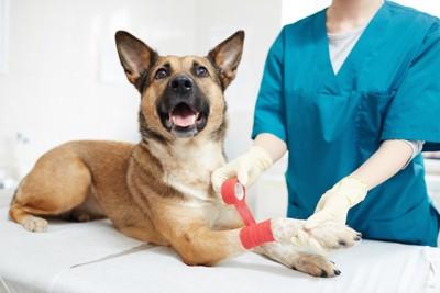 病院で足に包帯を巻いてもらう犬