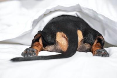 ベッドに潜り込むダックスフンドのお尻
